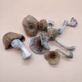 SHAFAA Golden Teacher Dried Magic Mushrooms